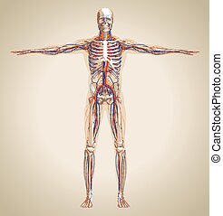 Human (male) circulation system, nervous system and lymphatic system