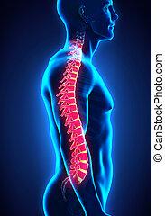 Human Male Spine Anatomy Illustration. 3D  render