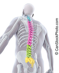 Human Male Spine Anatomy Illustration. 3D render
