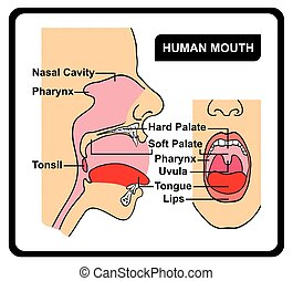 Human Mouth Anatomy Diagram including all parts for medical...