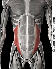 internal oblique - human muscle anatomy - internal oblique