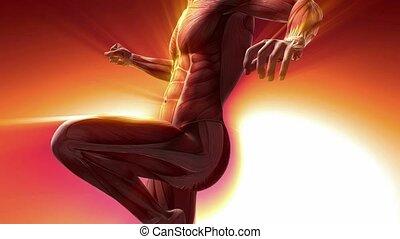 Human Muscle Anatomy - human muscle anatomy model rotate