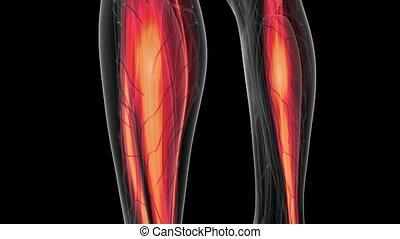 Human Muscle Anatomy - human muscle anatomy glow scan