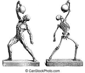 Human muscles and bones structure - Anatomy: Human bones...
