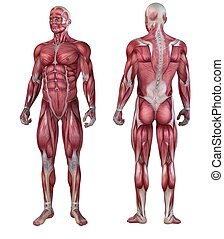 human muscular system - 3d rendered anatomy illustration of ...