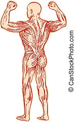 Human Muscular System Anatomy Etching