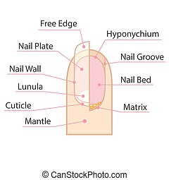 Human nail structure - Structure and anatomy of human nail. ...