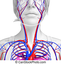 Human neck circulatory system - Illustration of neck ...