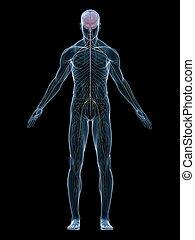 human nerve system - 3d rendered illustration of human body ...
