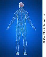 human nerve system - 3d rendered illustration of human body...