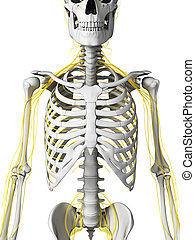 Human - nerves and skeleton - 3d rendered illustration -...