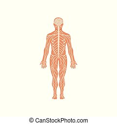 Human nervous system, anatomy of human body vector Illustration on a white background
