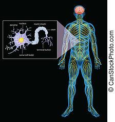 Human nervous system - Illustration of the human nervous...