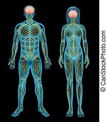 Human nervous system - The human nervous system on a black...