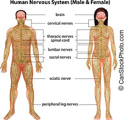 Human nervous system - The male and female nervous systems...