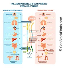 Human nervous system medical vector illustration diagram with parasympathetic and sympathetic nerves and all connected inner organs through brain and spinal cord. Educational information complete guide.