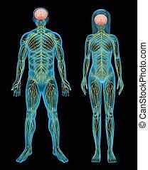 Human nervous system - The human nervous system on a black ...