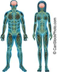 Human nervous system - The human nervous system on a white...