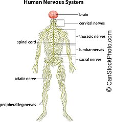Human nervous system - An image showing the human nervous...