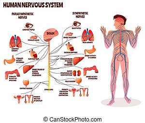 Human nervous system vector illustration