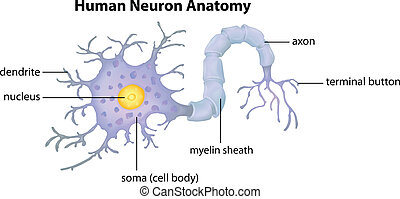 Human Neuron Anatomy - Illustration showing the Human Neuron...