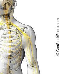 human, -, ombro, nervos