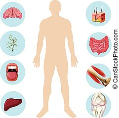 Human Organ Anatomy Part of Body