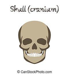 human organ icon in flat style skull