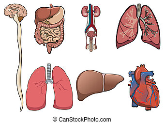 Human organ consist of brain, lung, heart, digestive system and kidney in vector