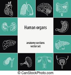 Human organ set