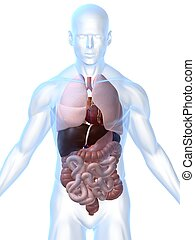3d rendered illustration of a transparent body with organs