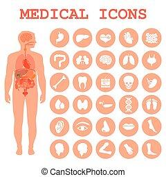 human organs, body anatomy