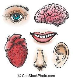 Human organs sketch. Face and internal organs in vintage...