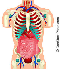 Human Organs - Stock vector of human organs