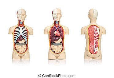 Human organs - Three views of a model of human body showing...