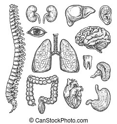 Human organs vector sketch body anatomy icons - Human body ...
