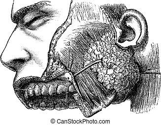 Human Parotid Gland and Sternocleidomastoid Muscle, vintage engr