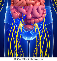 Human pelvic girdle nervous and digestive system artwork - ...