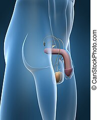 human penis - 3d rendered anatomy illustration of a human...