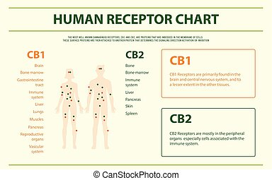 Human Receptor Chart horizontal infographic Complete