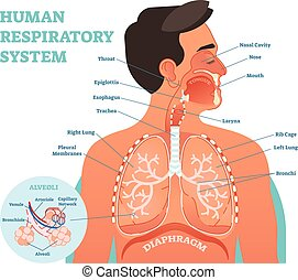 Human Respiratory System anatomical vector illustration,...