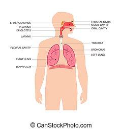 human respiratory system anatomy,