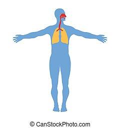 Human respiratory system anatomy, isolated on white background.