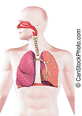 Human respiratory system, cross section. On white...