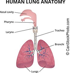 human respiratory system - human lungs, trachea and...