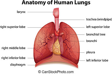 Human respiratory system - Illustration of the human ...