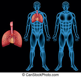 Human respiratory system - Illustration of the human ...
