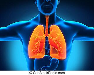 Human Respiratory System - Male Anatomy of Human Respiratory...