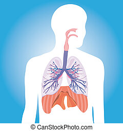 Human respiratory system.  vector illustration