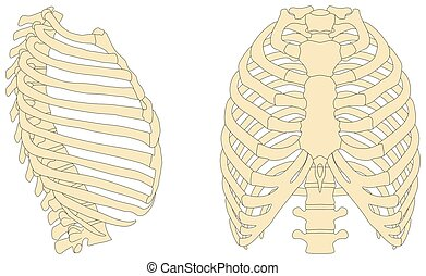Human Rib Cage Anatomy Diagram